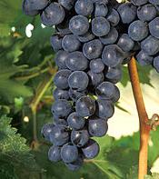 Weinfest in Binissalem